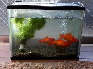 金魚081121_1401.jpg